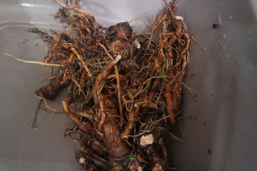 plantes médicinales racines automne