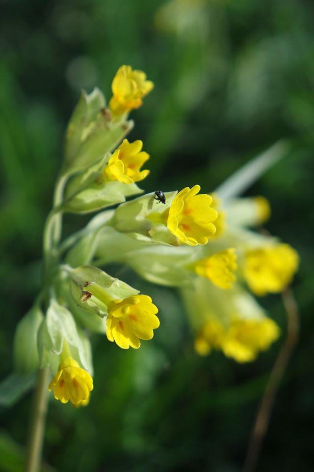 primevère officinale plante médicinale pour la toux