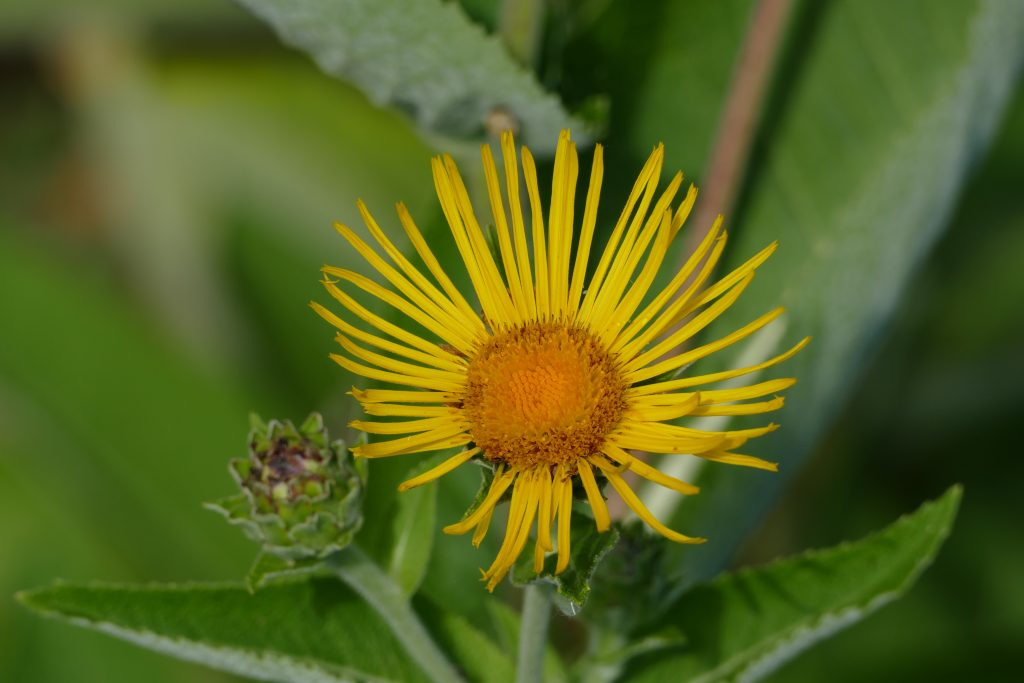 plantes toux expectorante flore intestinale