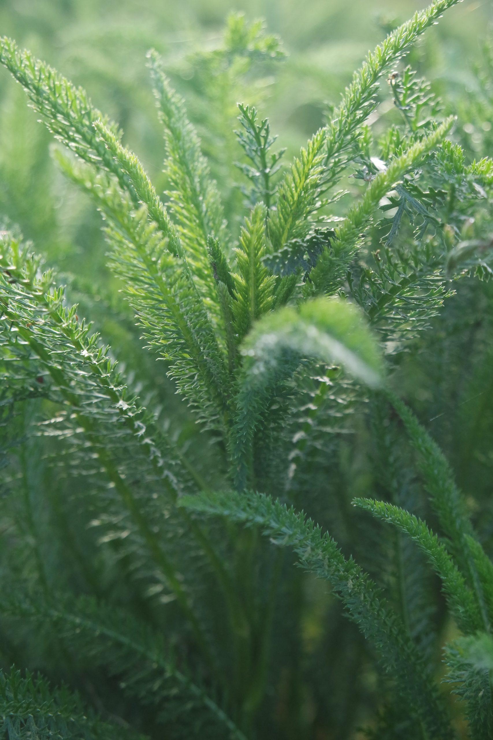 plante médicinale achillée